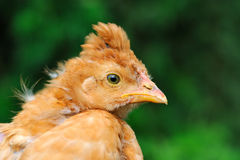 Cute Crested Baby Chicken Royalty Free Stock Image