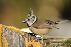 Cute crested tit eating lard Stock Images