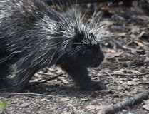 Cute critter from north america with prickly quills. Pretty porcupine with black and white quills royalty free stock images