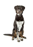 Cute Crossbreed Black and Tan Hound Dog Royalty Free Stock Image