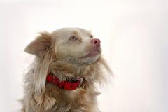 Cute crossbreed dog Royalty Free Stock Photos