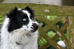 Cute crossbreed dog Royalty Free Stock Photography