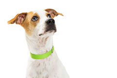 Cute Crossbreed Dog Looking Up Closeup Royalty Free Stock Image