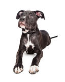 Cute Crossbreed Puppy With Big Paws Royalty Free Stock Photos