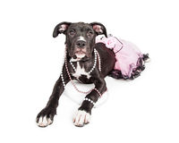 Cute Crossbreed Puppy Wearing Pink Royalty Free Stock Images