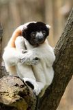 A cute crowned sifaka Royalty Free Stock Photos