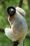 A cute crowned sifaka Stock Photos