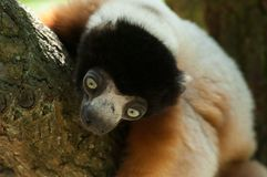 A cute crowned sifaka Stock Photo
