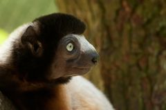 A cute crowned sifaka Royalty Free Stock Image