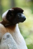 A cute crowned sifaka Royalty Free Stock Images