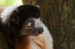 A cute crowned sifaka Royalty Free Stock Photography