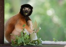 A cute crowned sifaka. (Propithecus coronatus) in a tree Stock Images