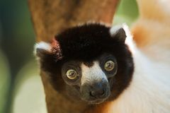 A cute crowned sifaka. (Propithecus coronatus) in a tree Royalty Free Stock Photo