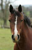 Cute Crumple. Childs bay pony looking for food stock image