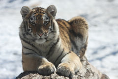 Cute Cub. Siberian or Amur Tiger cub lying on log. Snowy winter background Royalty Free Stock Photo