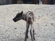 Cute cub of reindeer at summer day photo image stock image