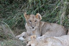 Cute Cub Stalking Stock Images