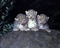 Cute cubs Snow leopard, Uncia ucia. The Cute cubs Snow leopard, Uncia ucia Stock Photos