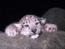 Cute cubs Snow leopard, Uncia ucia. One Cute cubs Snow leopard, Uncia ucia Royalty Free Stock Image