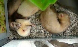 Cute cuddling ferrets 3. 3 cute ferrets stock photo