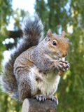 Cute and cuddly squirrel Stock Image