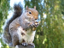 Cute and cuddly squirrel Stock Photography