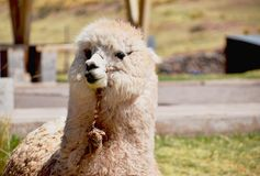 Cute and curious alpaca looking up royalty free stock photos
