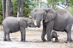 Loving elephant mother protecting tiny baby elephant between legs, trunk cuddling with sibling, Botswana, Africa.