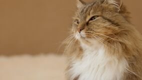 Cute curious cat lying on bed on plaid indoors and looking playful, fluffy Siberian cat, concept of lovely pets