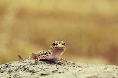 Cute curious gecko. Standing on top of a rock royalty free stock images