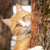 Cute curious ginger tabby cat with yellow eyes hanging on trunk of tree. Square.  royalty free stock photos