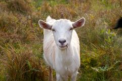 Cute curious Goat. Eating grass royalty free stock image
