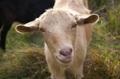 Cute curious Goat. Close-up stock photos