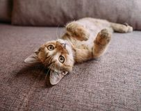 Cute kitten lying on its back on couch. stock photos