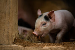 Cute Curious Piglet Royalty Free Stock Photography