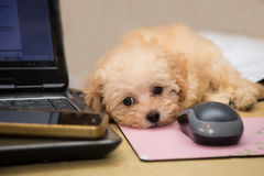 Cute and curious poodle puppy resting on a desk Royalty Free Stock Image