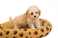 Cute and curious poodle puppy standing on her bed Royalty Free Stock Photo
