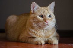 Cute and curious red kitten sitting on the floor Royalty Free Stock Photos