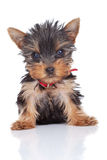 Cute and curious yorkie toy Royalty Free Stock Photography