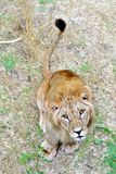 Cute curious young lion. Sitting looking at the camera Royalty Free Stock Photo