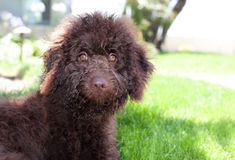 Cute curly chocolate brown labradoodle puppy dog lays in the grass Royalty Free Stock Photos