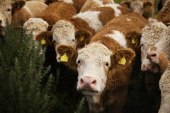 Cute Curly Hair Cow Staring. Closeup of a heard of cattle staring at the camera royalty free stock photography