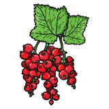 Cute currant Royalty Free Stock Image