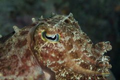 Cute cuttlefish Stock Photo