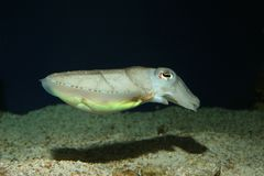 A cute cuttlefish. royalty free stock photo