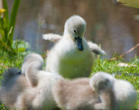 Cute cygnet Royalty Free Stock Image