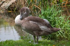 Cute cygnet preens on riverbank Stock Photo