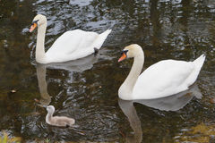 Cute cygnet between swan couple Royalty Free Stock Photos
