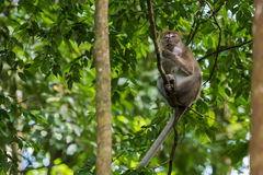 Cute cynomolgus monkey sits high up on a tree and holds the foot Royalty Free Stock Images
