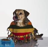 Cute dachshund. A cute dachshund licking its nose Royalty Free Stock Photos